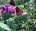 Flickr - ronsaunders47 - BUTTERFLY TREE VISITORS 1.jpg