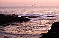 Flock of birds at sunset (3854509401).jpg