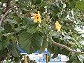 Flor amarilla cubana.JPG