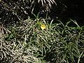 Flora of Tanzania 4759 Nevit.jpg