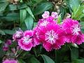 Flower(dulalthok).JPG