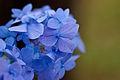 """Flower, Hydrangea """"Shikizaki-Hime-Ajisai"""" - Flickr - nekonomania (1).jpg"""