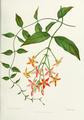 Flower-quisqualis-indica.png