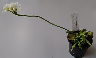 Цветущая Венерина мухоловка. Длинный цветонос предотвращает гибель опылителей на листьях
