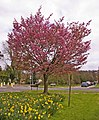 Flowering tree on Green opposite apartment block on corner of Bincote Road, Enfield - geograph.org.uk - 752290.jpg