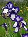 Flowers in Garden - Nakafurano - Hokkaido - Japan (48006038621).jpg