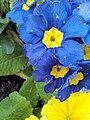 Flowers in villeneuve d'Ascq IMG 20150412 183554(1).jpg