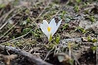 Flowers of Jablanica Mountain (White Crocus).jpg