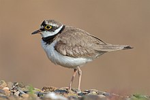 Flussregenpfeifer Little ringed plover.jpg