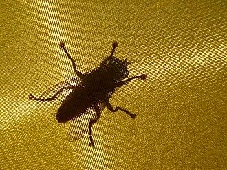 Actia (genus) - Image: Fly