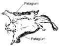 Flying Squirrel (PSF).png