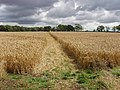 Footpath through wheat to Hinwick Lodge Farm - geograph.org.uk - 528841.jpg