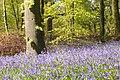 Forêt domaniale de Desvres- Hêtraie à jacinthe des bois.jpg