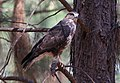 Forest Buzzard, Buteo trizonatus, at Hangklip Forest, Makhado, Limpopo Province, South Africa (20761505461).jpg