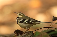 Forest Wagtail by David Raju (cropped).jpg