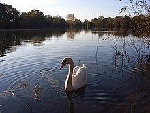 Swan on Loddon Nature Reserve lake