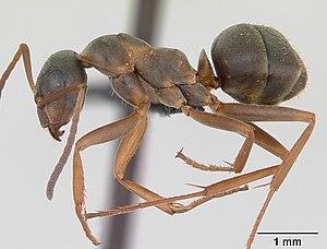 Präparierte Serviformica cunicularia -Arbeiterin
