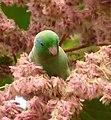 Forpus conspicillatus (Perico de anteojos) - Flickr - Alejandro Bayer (7).jpg