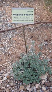 <i>Forsskaolea tenacissima</i> Species of flowering plant