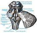 Fossa rhomboidea.jpg