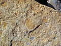 Fossiliferous sandstone (Vinton Member, Logan Formation, Lower Mississippian; Hanover Pit, Licking County, Ohio, USA) 10 (47508100172).jpg