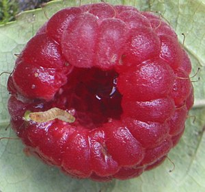 Aggregate fruit - A raspberry fruit (shown with a raspberry beetle larva) is an aggregate fruit, an aggregate of drupelets