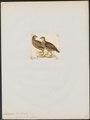 Francolinus gariepensis - 1820-1863 - Print - Iconographia Zoologica - Special Collections University of Amsterdam - UBA01 IZ17100031.tif