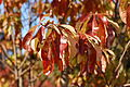 Franklin Tree Franklinia alatamaha Autumn Branch 2000px.jpg