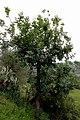 Fraxinus angustifolia Taslent.jpg