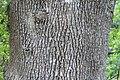Fraxinus uhdei 6zz.jpg