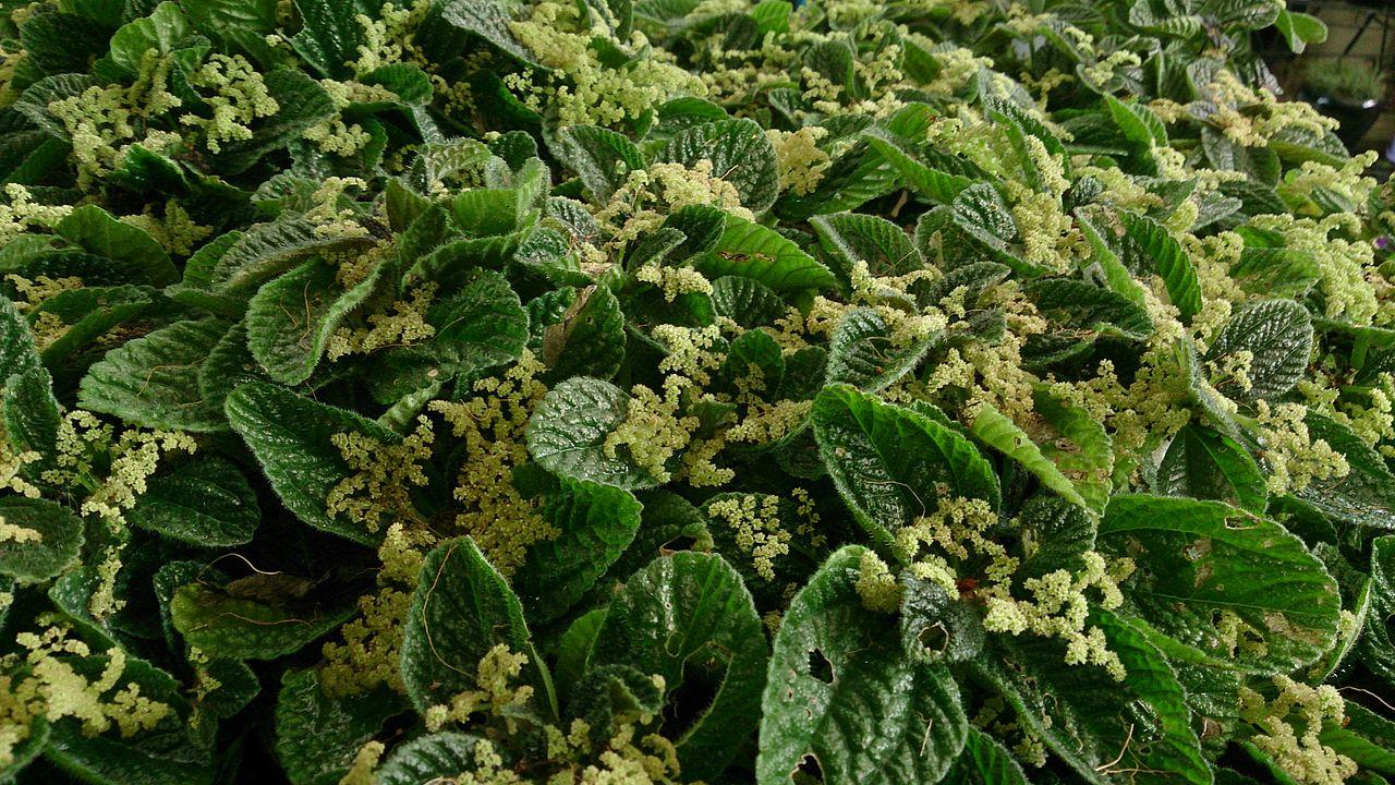 File friendship plant pilea involucrata for Plante pilea