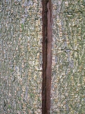 Frost crack - Frost crack in horse-chestnut bark