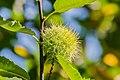 Fruit of Castanea sativa 01.jpg