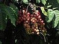 Fruits Aphanamixis polystachya.jpg