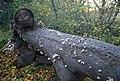Fungus on a fallen tree, Tinley Lodge Toll - geograph.org.uk - 1576082.jpg