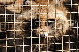 A caged dog, resembling a raccoon, looks at the camera.