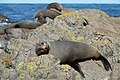 Fur seals lazing around on the rocks at Sinclair Head seal colony.jpg