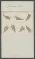 Furcularia senta - - Print - Iconographia Zoologica - Special Collections University of Amsterdam - UBAINV0274 101 04 0016.tif