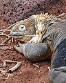 Galapagos Land Iguana (4885198834).jpg