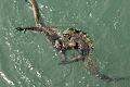 Galapagos Marine Iguana Fight.jpg