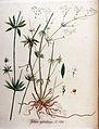 Galium sylvaticum — Flora Batava — Volume v11.jpg