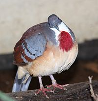 Gallicolumba crinigera -London Zoo, England-8a.jpg