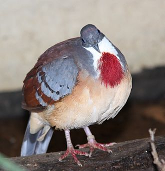 Mindanao bleeding-heart - At the London Zoo, England