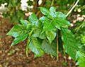 Gardenia spathulifolia foliage.jpg