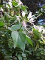 Gardenology.org-IMG 2328 ucla09.jpg