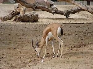 English: Gazella dorcas neglecta (Dorcas gazel...