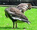 Geese, Ward Park, Bangor - geograph.org.uk - 912290.jpg