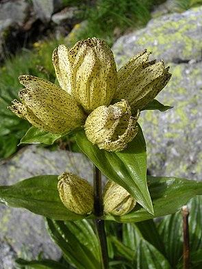 Tüpfel-Enzian (Gentiana punctata)