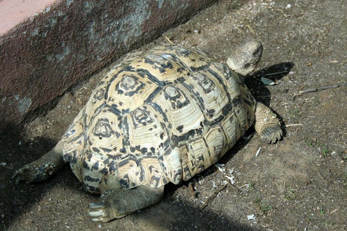 Stigmochelys pardalis - Wikipedia, la enciclopedia libre