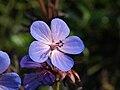Geranium himalayense, Cloppenburg (DE) P6244293.jpg